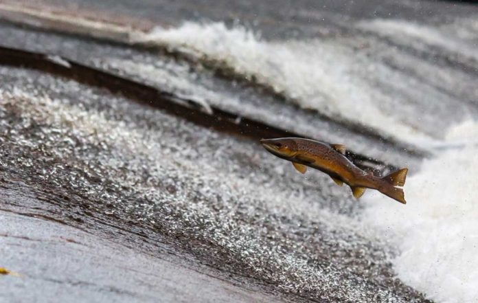 Fish Ladder Salmon Jumping Outdoor Newspaper