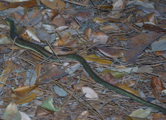 Incidental Take Of Slender Glass Lizard - Columbia Co.