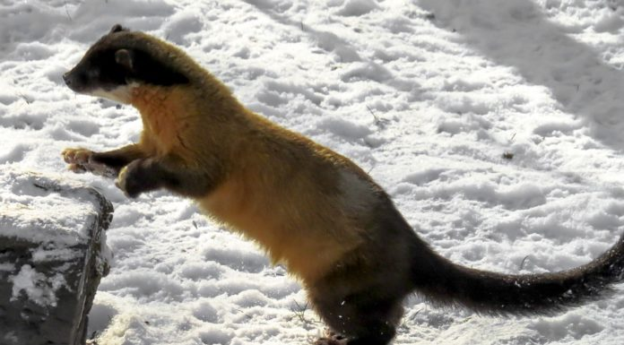 Trail Cameras May Help the Endangered American Marten