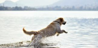 Golden Retriever Hunting Dog Retrieving Duck in Water | Outdoor Newspaper