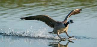 Early Canada Goose Season to Open Sept. 1 in WI.