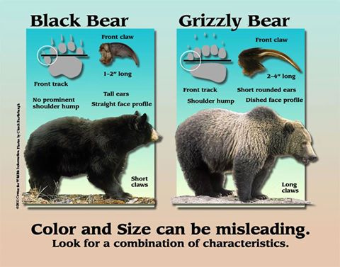 Difference between grizzly bear and black bears Photo by IDFG | Outdoor Newspaper