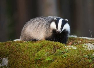 7 cool things you should know about badgers | Outdoor Newspaper