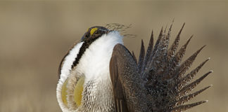 Hunters Urged to Weigh in on the Proposed 2020 Idaho Fall Sage Grouse Hunting Season - Outdoors Newspaper