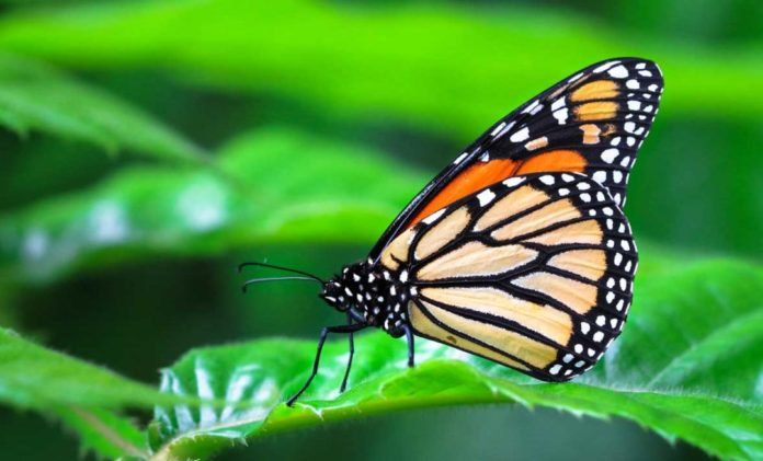 Adult Monarch Butterfly on a Leaf Outdoor Newspaper