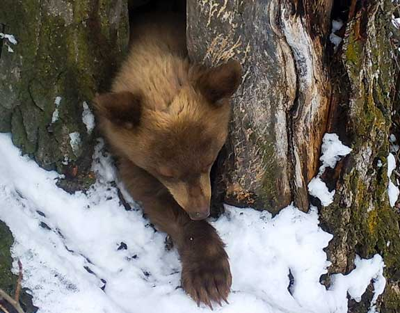 Bear Cub in Spring Photo by IDFG | Outdoor Newspaper