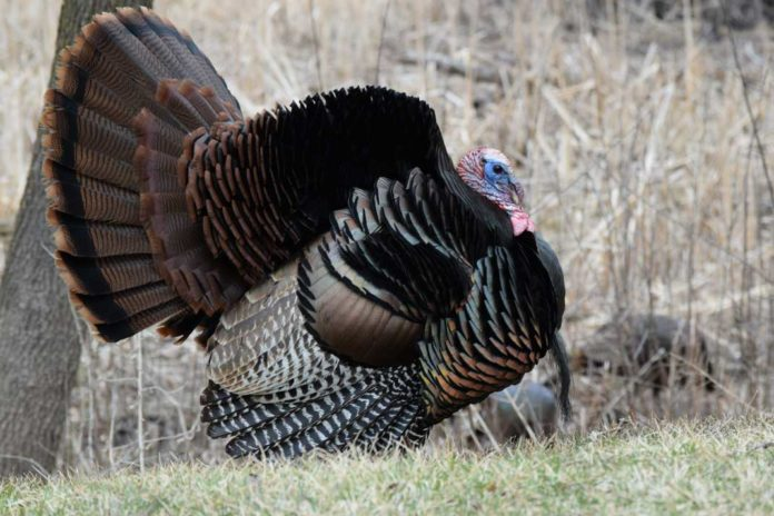 Illinois Spring Turkey Hunting Permits | Outdoor Newspaper