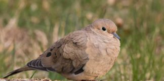 mourning-dove-hunting | Outdoor Newspaper