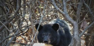 Maryland Black Bear Activity Rises as Leaves Fall