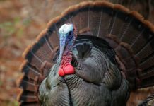 GueFall Turkey Season Open in Western Maryland | Outdoor Newspaper