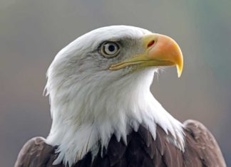 Best Places to See Bald Eagles in Utah This Winter - Outdoor Newspaper