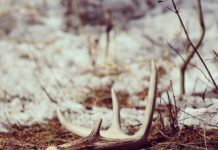 Want to Gather Shed Antlers? You Must Take an Ethics Course First - Outdoor Newspaper