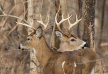 Whitetail Deer Bucks by Tim Ray