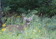 Big Whitetail Buck - Outdoor Newspaper