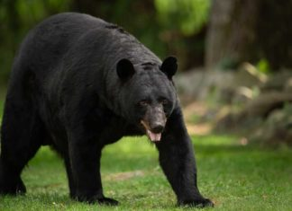 Black Bear Are Dangerous When They do Not Fear People - Outdoor Newspaper