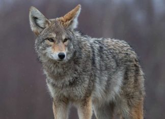 Coyotes Will Prey on Pets if Giving the Chance - Outdoor Newspaper
