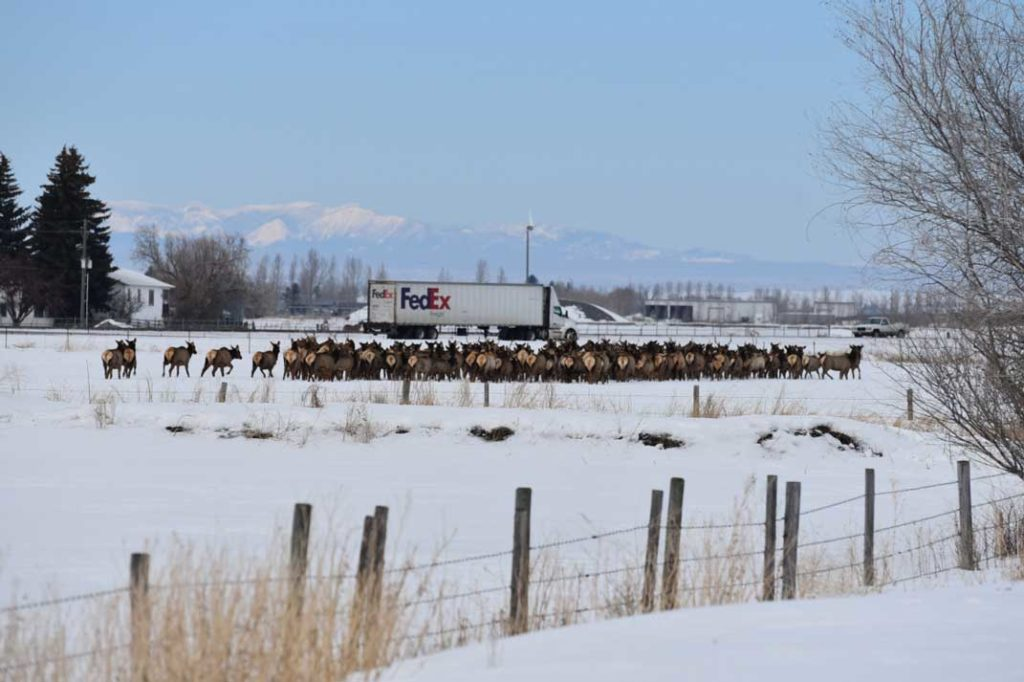 Large Herd of Elk Sugar City Idaho - Photo Credit - James Brower Idaho Fish and Game