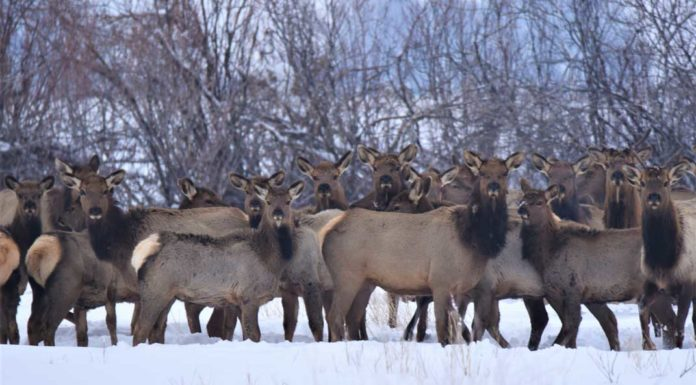 Sugar City Elk Herd - Photo Credit James Brower Idaho Fish and Game