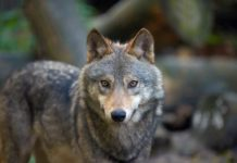 Manage Wolf Conflicts