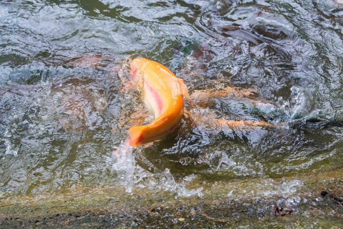 Golden Rainbow Trout are being Stocked in WV for the Gold Rush Event